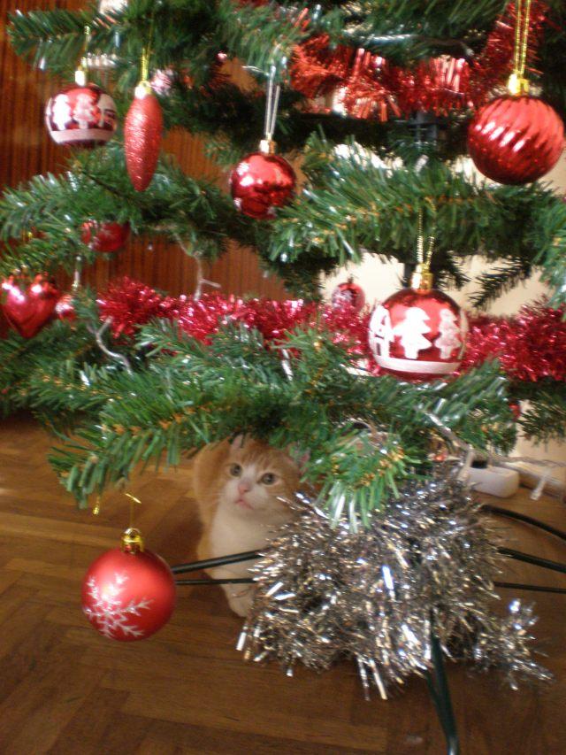 my cat Munchkin