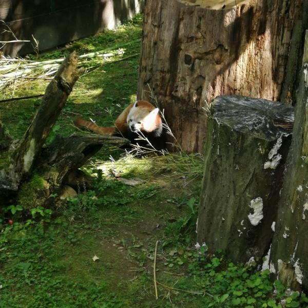 red panda at Zagreb ZOO